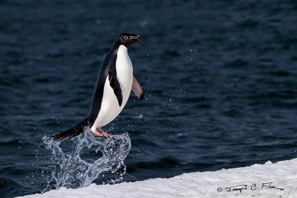 Popping Penguin