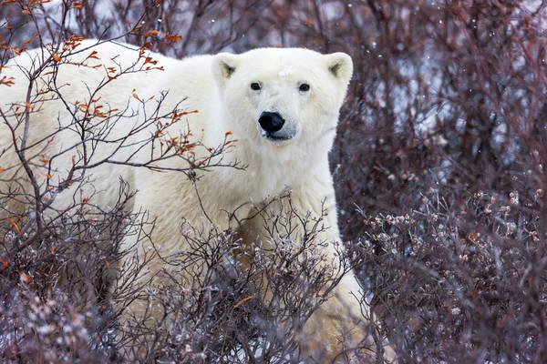Bush Bear