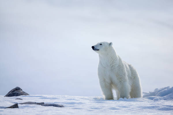 Pride Of The Arctic
