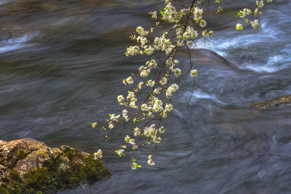 River Dogwoods