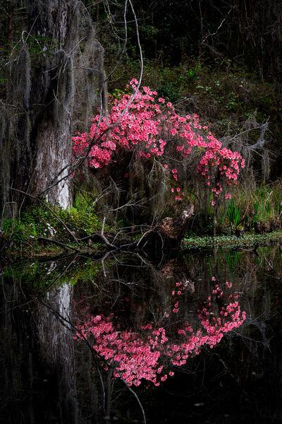 Azalea Reflections