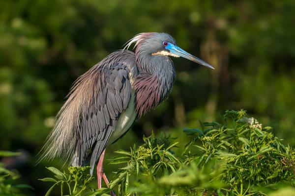 Heron Attraction
