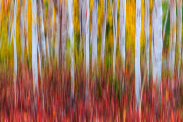 abstract, photography, photo, Fine Art, Fine Art Print, Metal Print, Acrylic Print, Fall Color, Birch, Tree