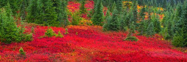 Rainier Red