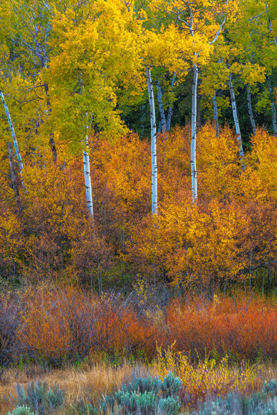 Wyoming, Grand Teton, National Park, Fall Colors, Aspen, Trees