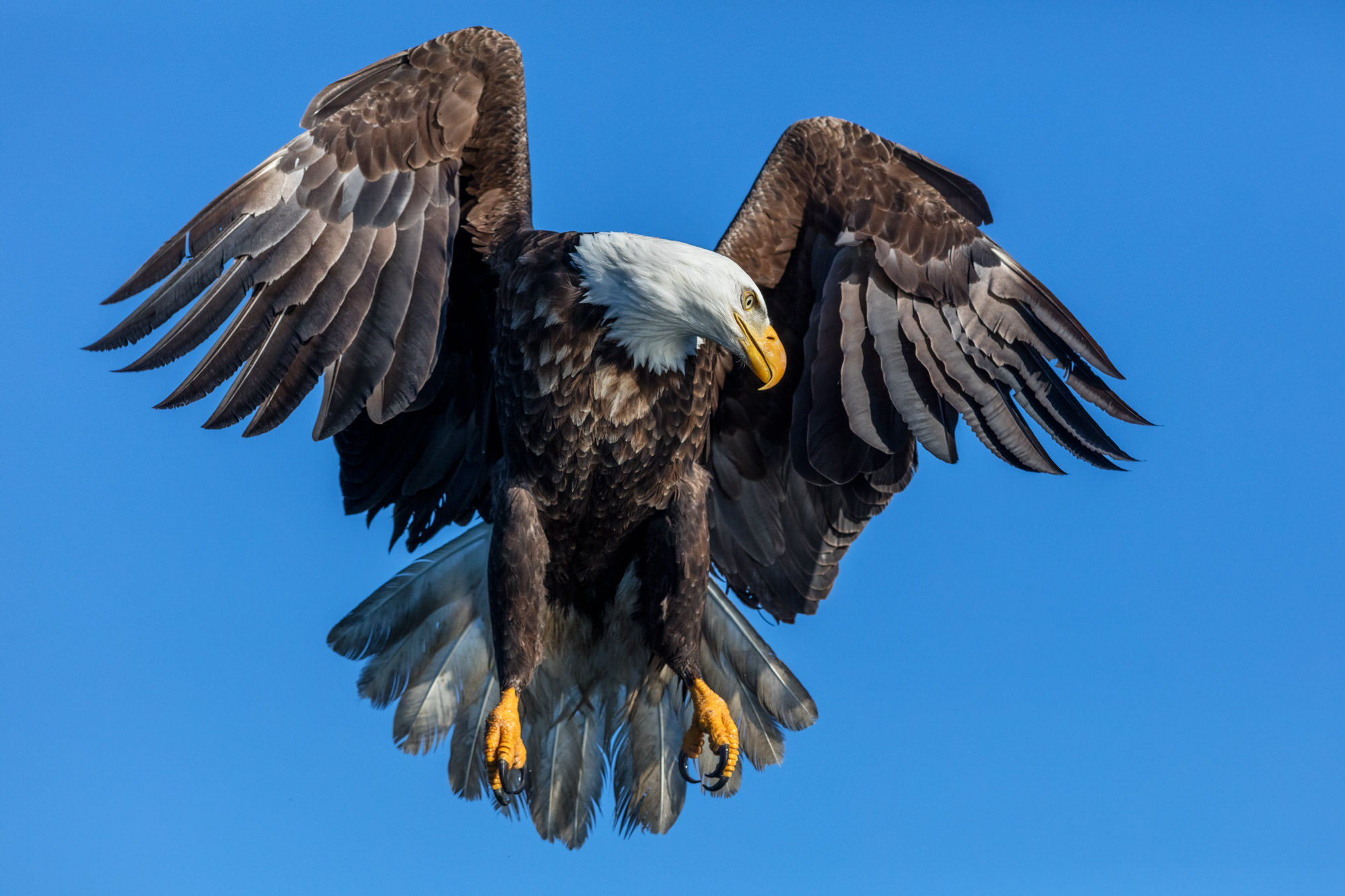 Eagle, Bald Eagle, flight, limited edition, photograph, fine art, wildlife, photo