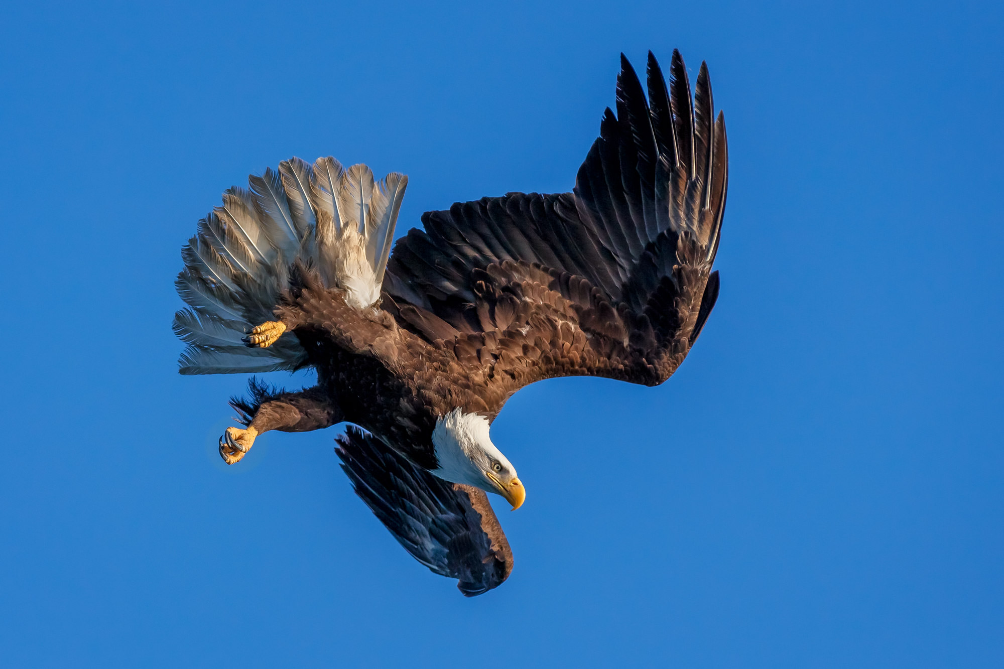 Eagle, Bald Eagle, flight, flying, photo
