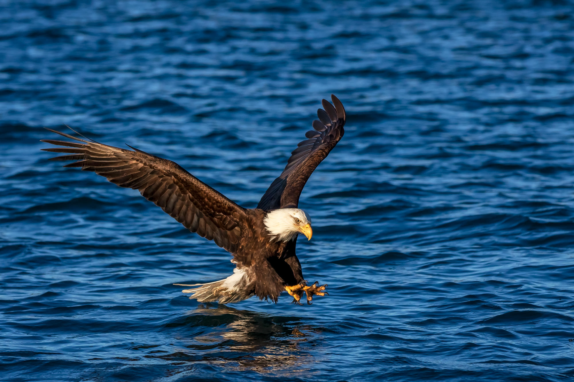 Eagle, Bald Eagle, flight, flying, photo