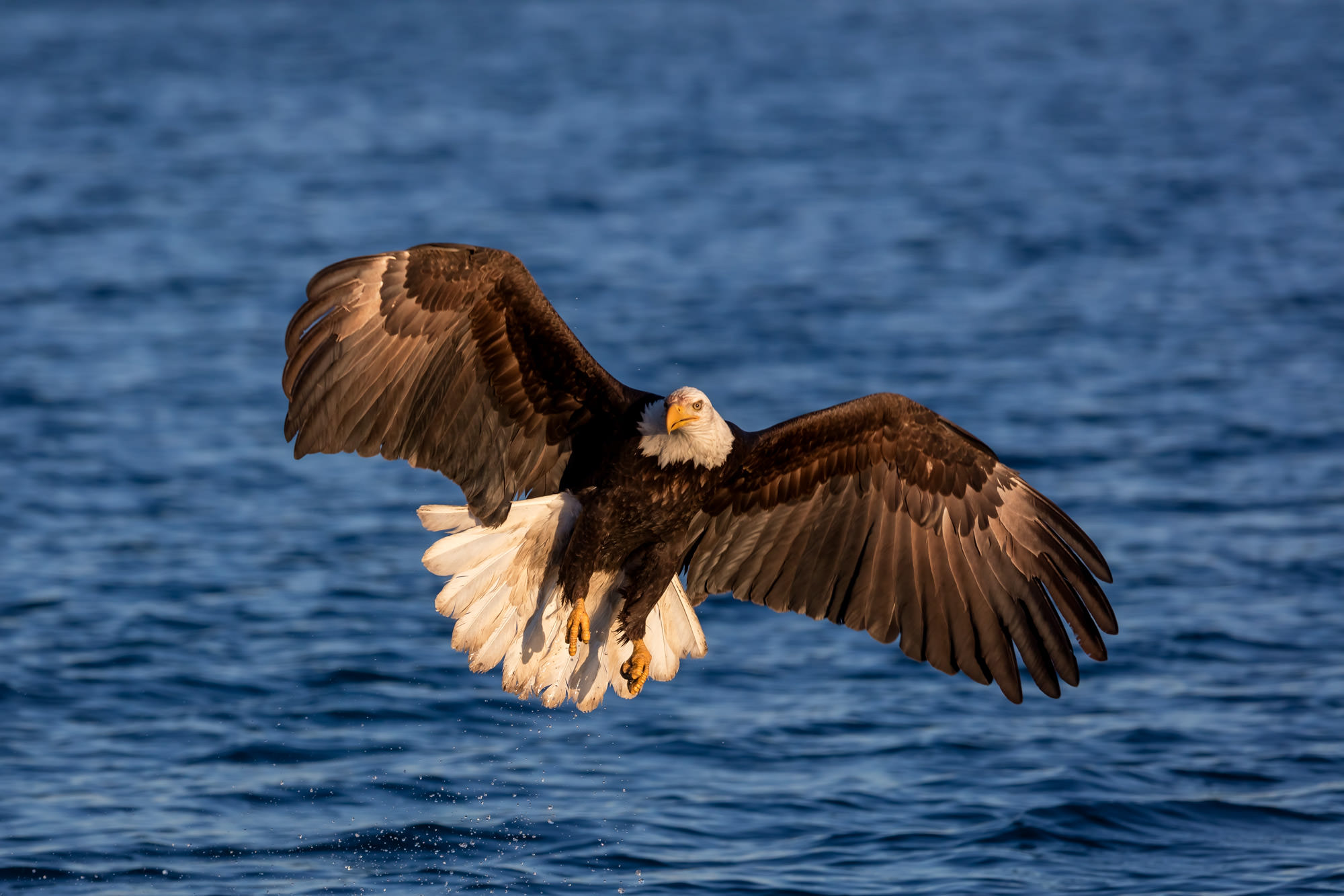 Eagle Fine Art Photography A Limited Edition photograph of a Bald Eagle in a full stall while in flight and fishing at Kachemak...