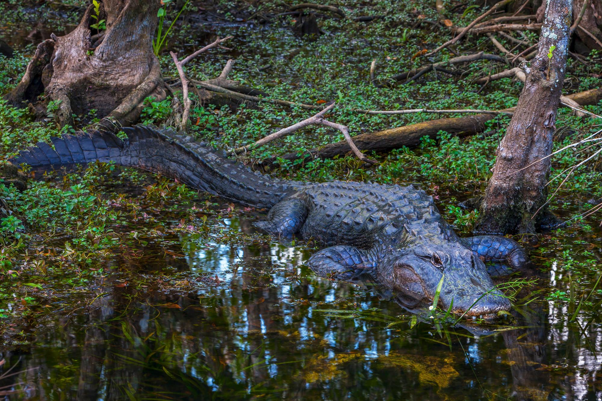 Alligator, Florida, Everglades, limited edition, photograph, fine art, wildlife, photo