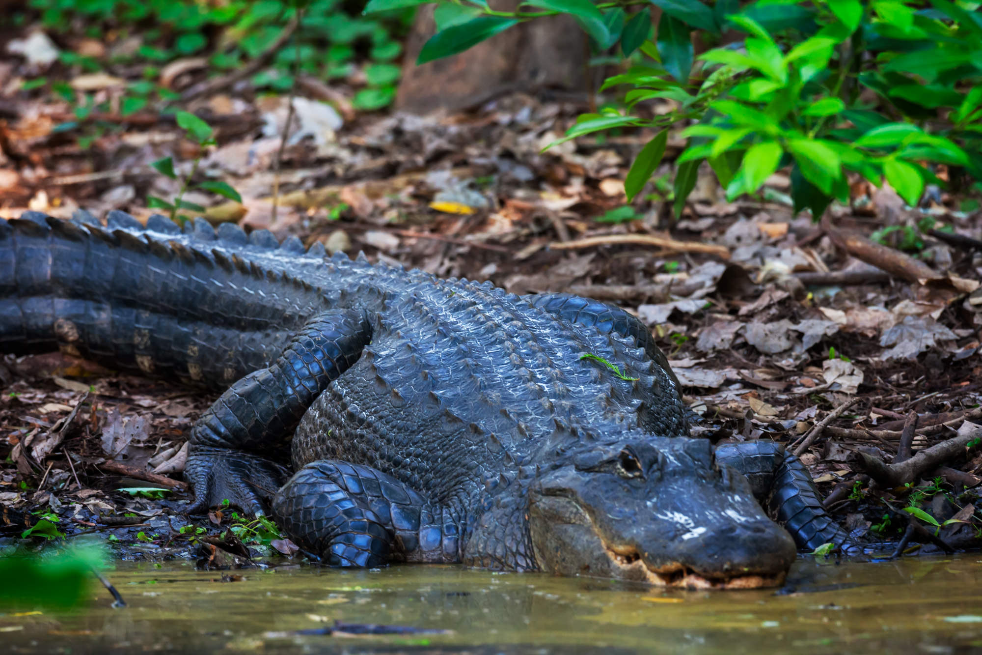Alligator, Florida, Highlands Hammock, limited edition, photograph, fine art, wildlife, photo