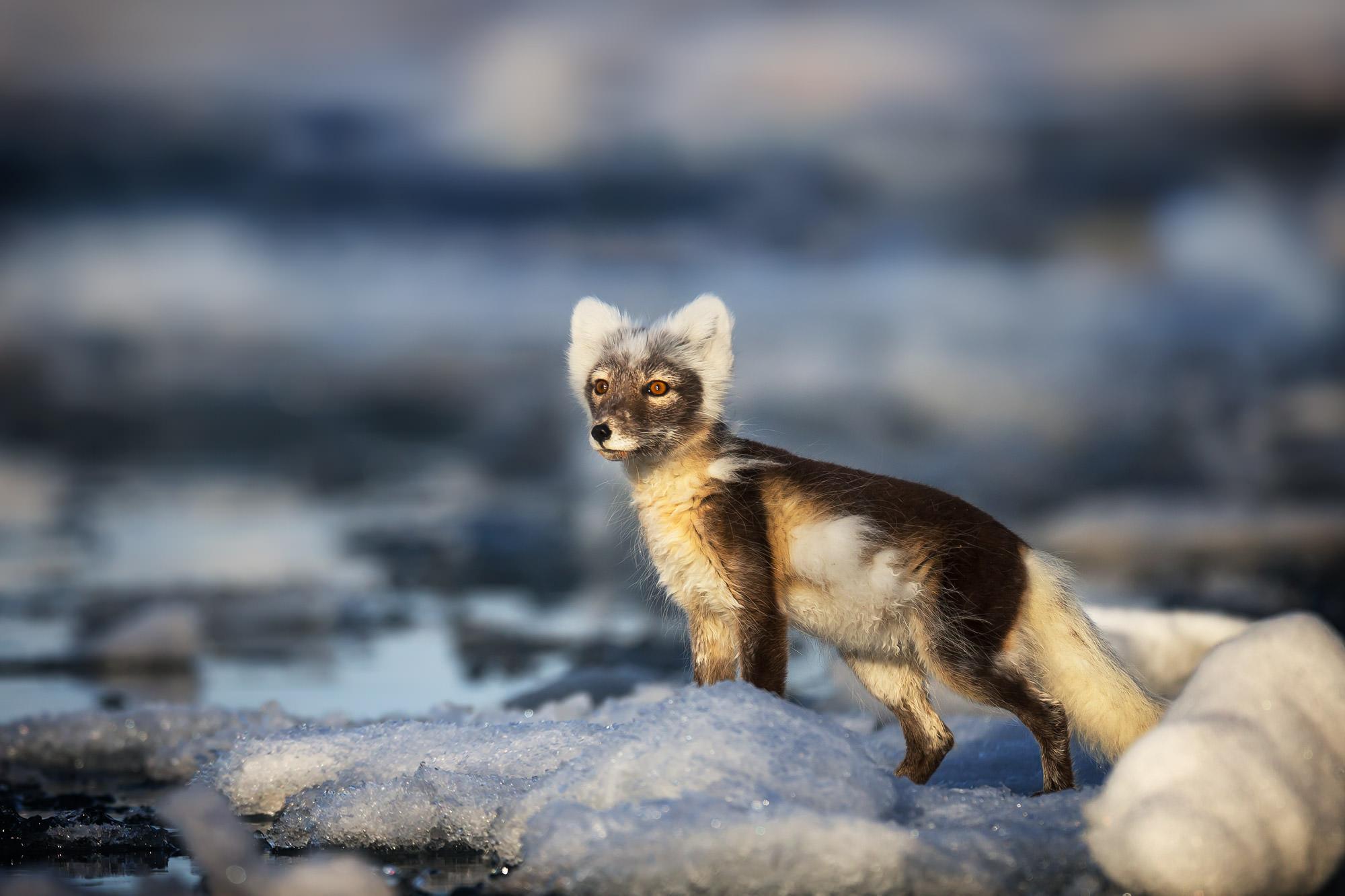 Fox, Arctic Fox, Norway, limited edition, photograph, fine art, wildlife, photo