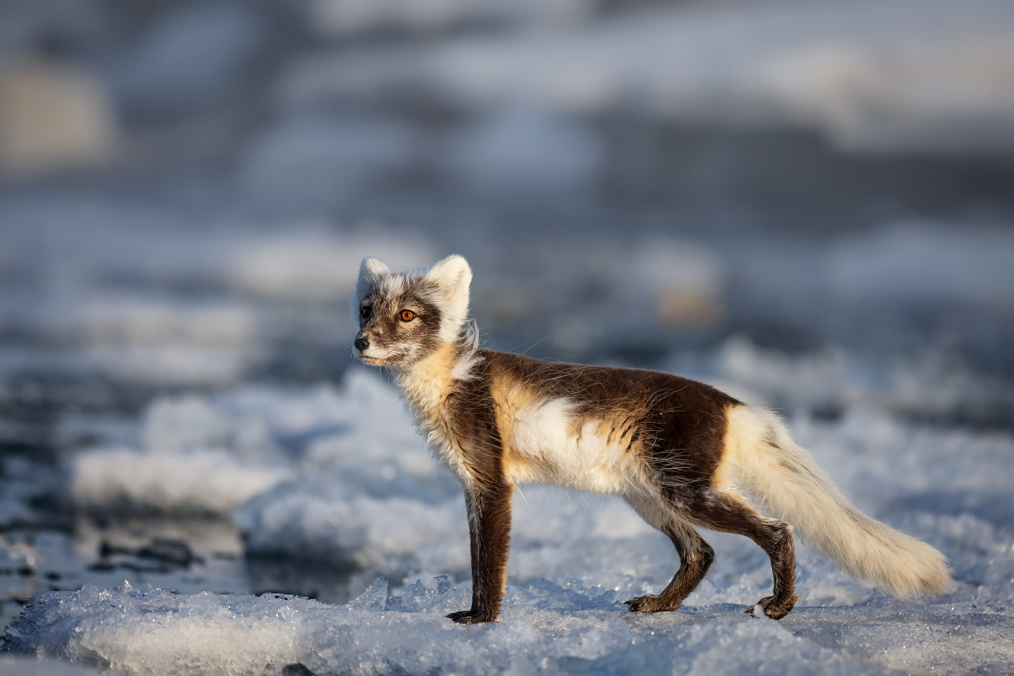 Arctic Fox Fine Art Photography A Limited Edition photograph of an Arctic Fox on the ice changing it's colors for the summer...