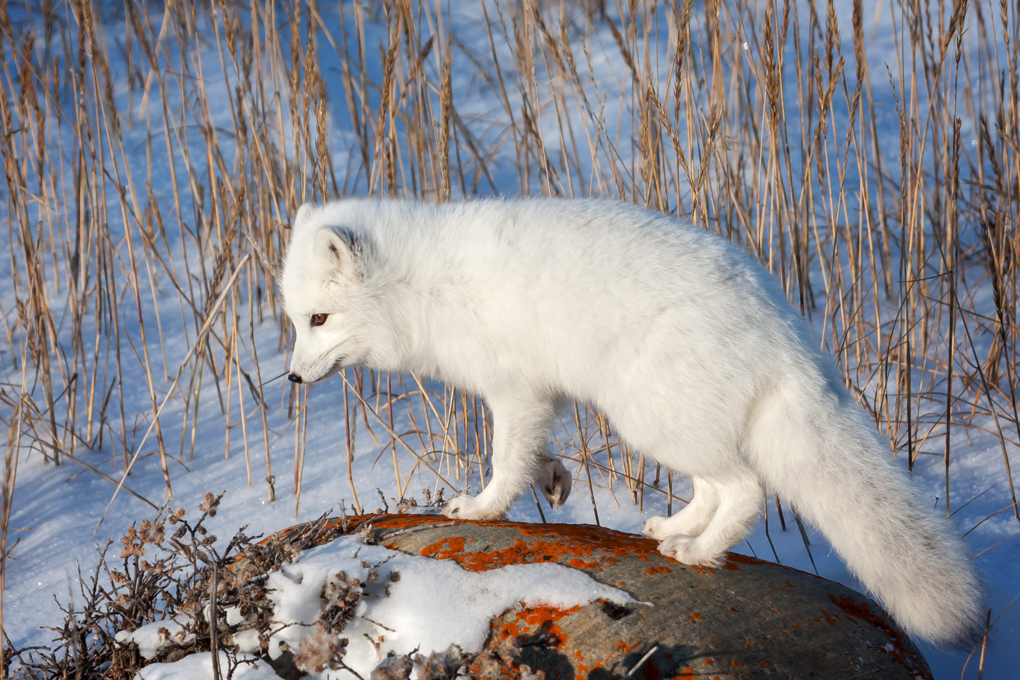 Fox, Arctic Fox, Canada, Winter, limited edition, photograph, fine art, wildlife, photo
