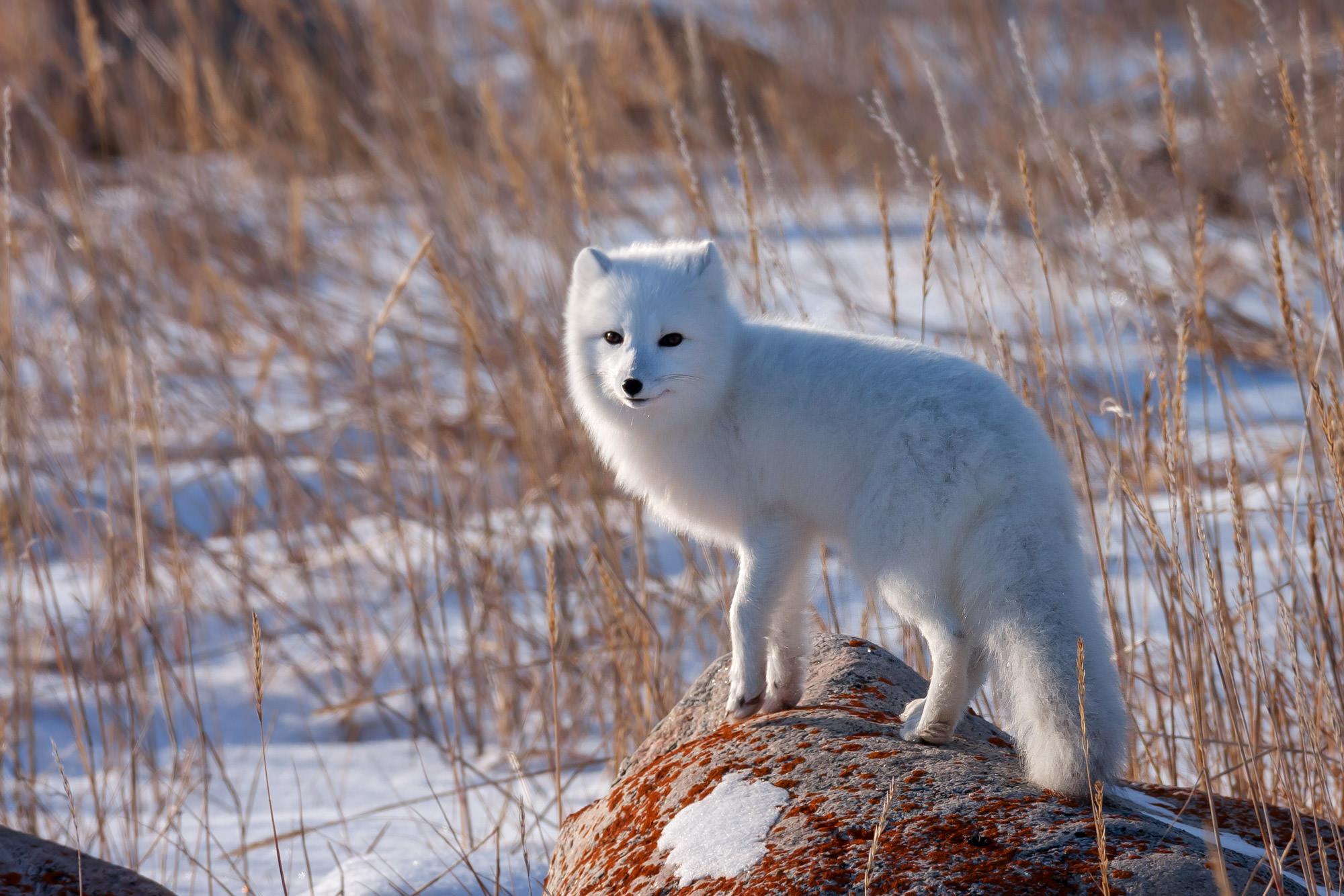 Fox, Arctic Fox, Canada, Winter, Manitoba, limited edition, photograph, fine art, wildlife, photo