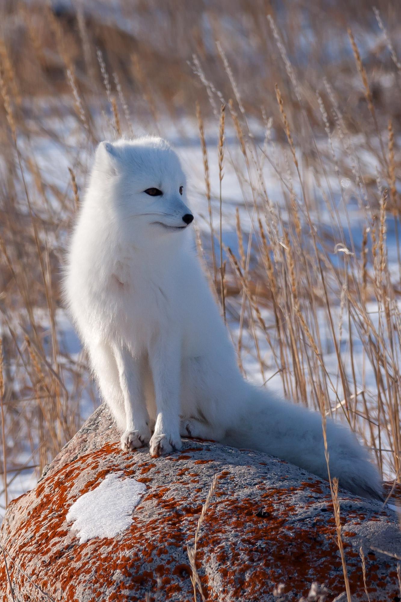 Fox, Arctic Fox, Canada, Winter, limited edition, photograph, fine art, wildlife, photo