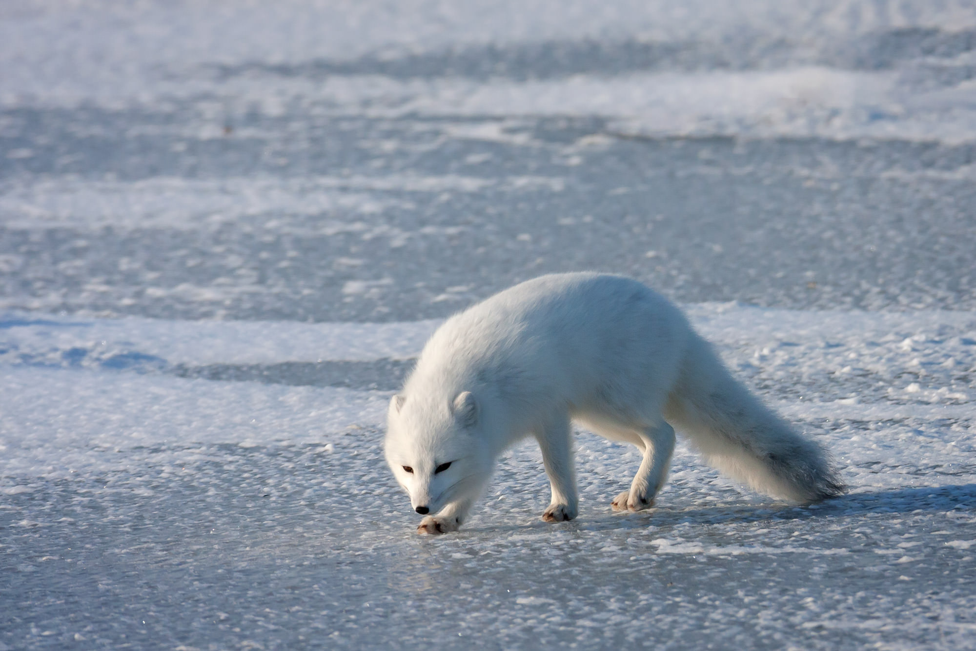 Arctic Fox Fine Art Photography A Limited Edition photograph of a white Arctic fox on the ice tracking down lunch in Manitoba...