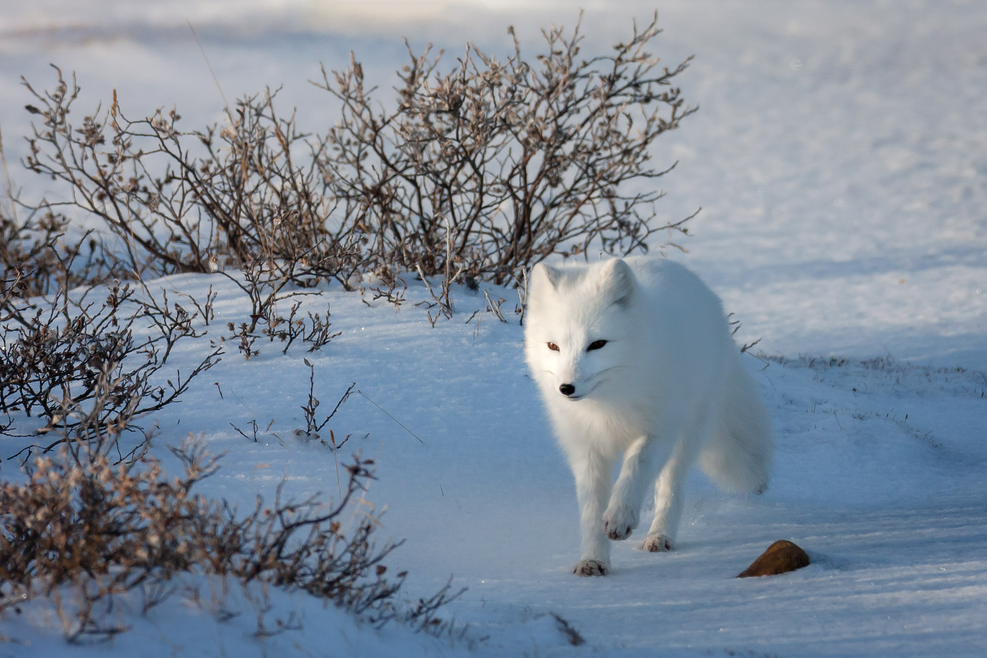 Arctic Fox Fine Art Photography A Limited Edition photograph of a white Arctic Fox hot on the trail of finding lunch in the snow...