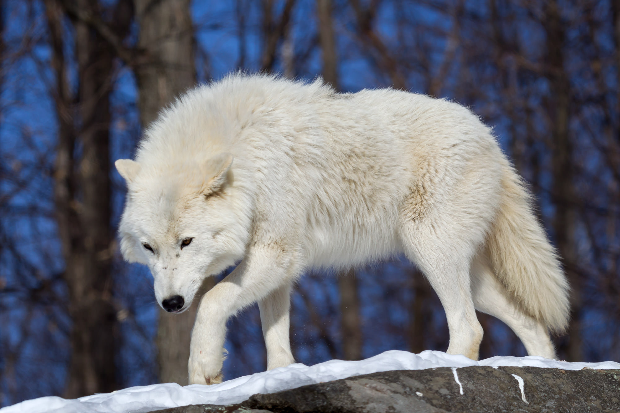Wolf, Arctic Wolf, Canada, winter, snow, limited edition, photograph, fine art, wildlife, photo