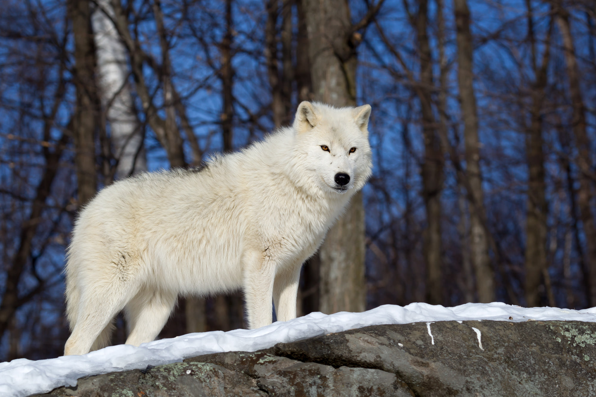 Wolf, Arctic Wolf, Canada, Winter, limited edition, photograph, fine art, wildlife, photo