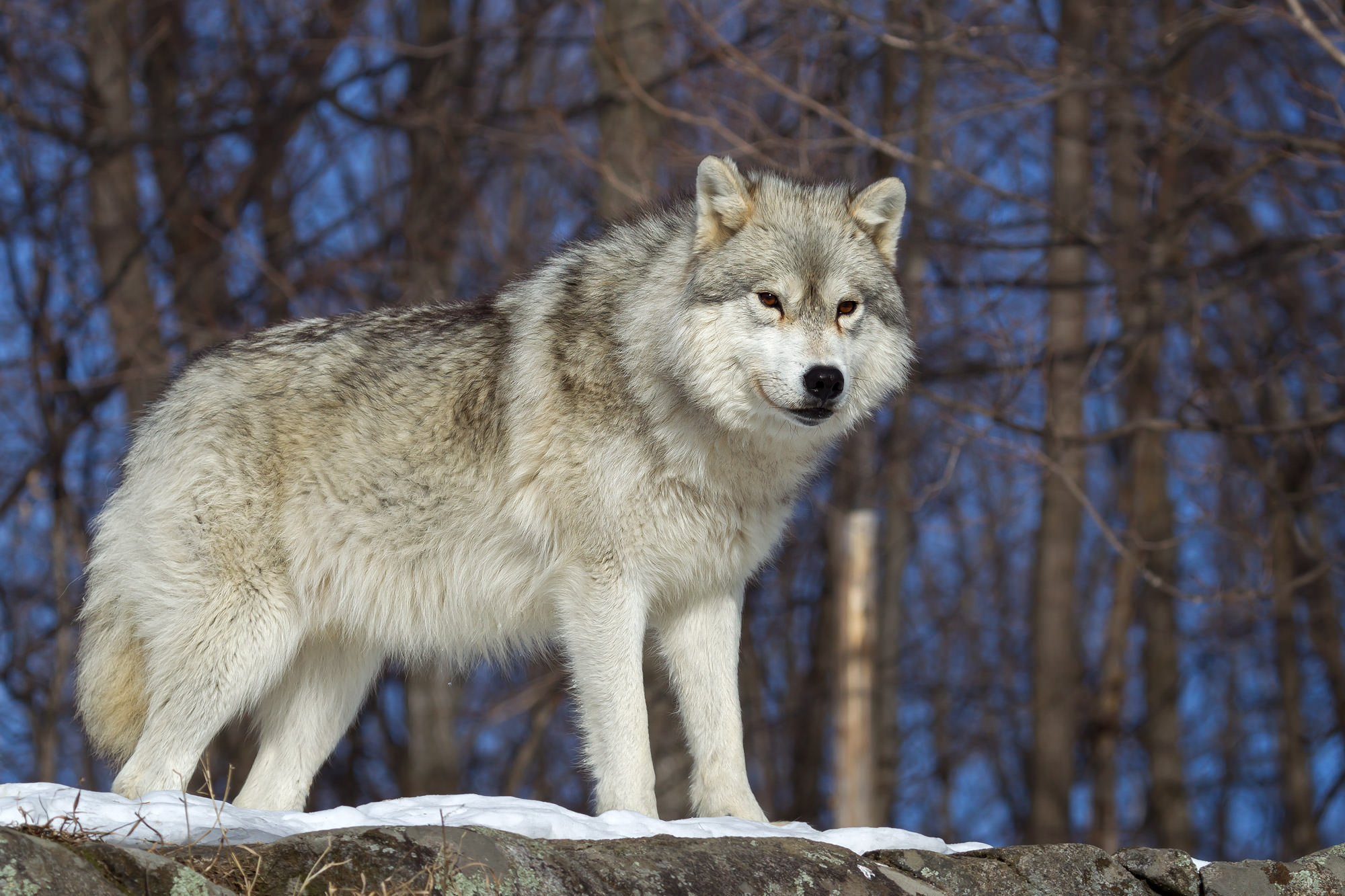 Fine Art Photography of Wolves A Limited Edition photograph of an Arctic Wolf standing alert and ready in the winter at Parc...
