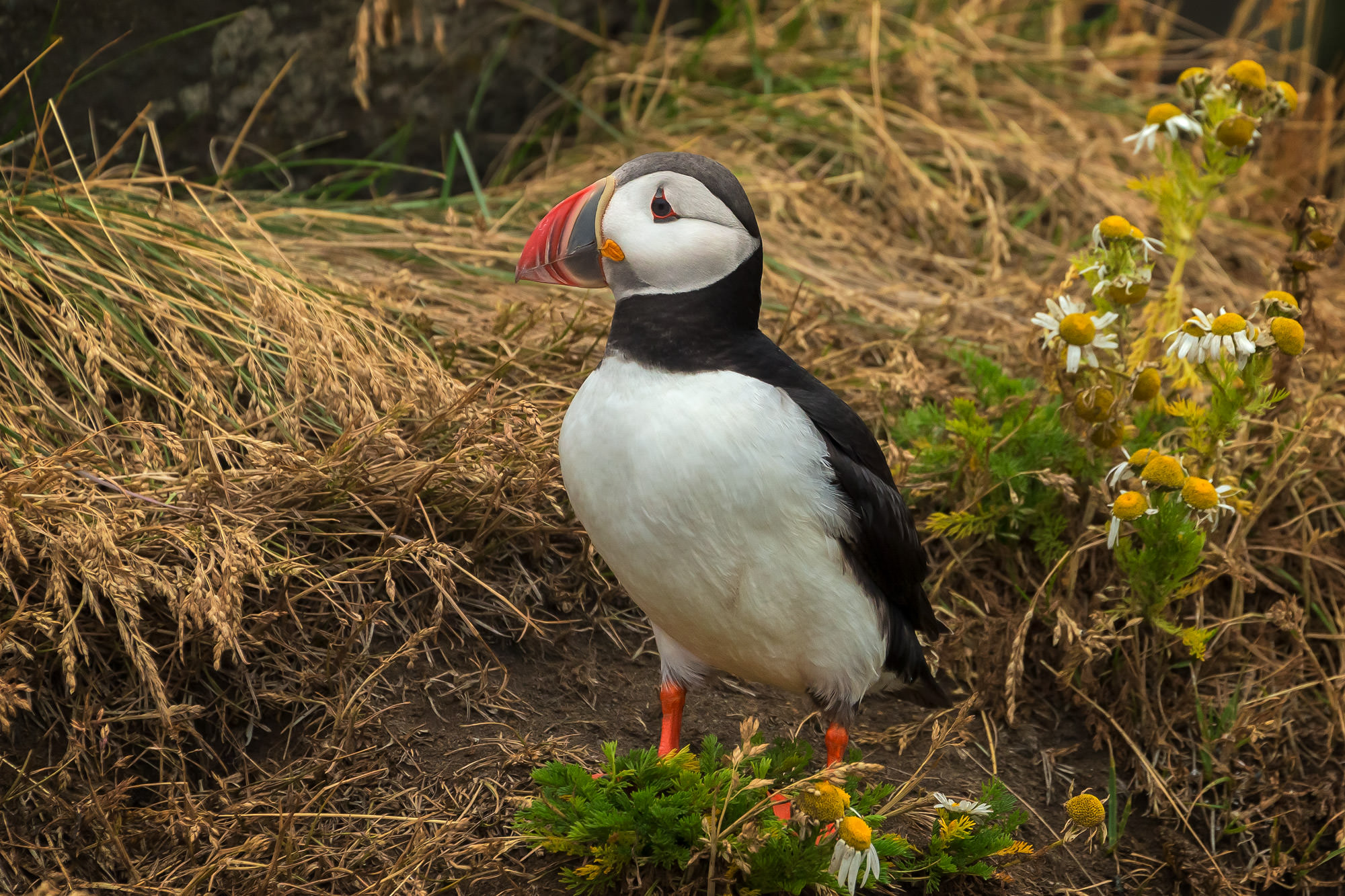 Puffin, Atlantic Puffin, Iceland, photo