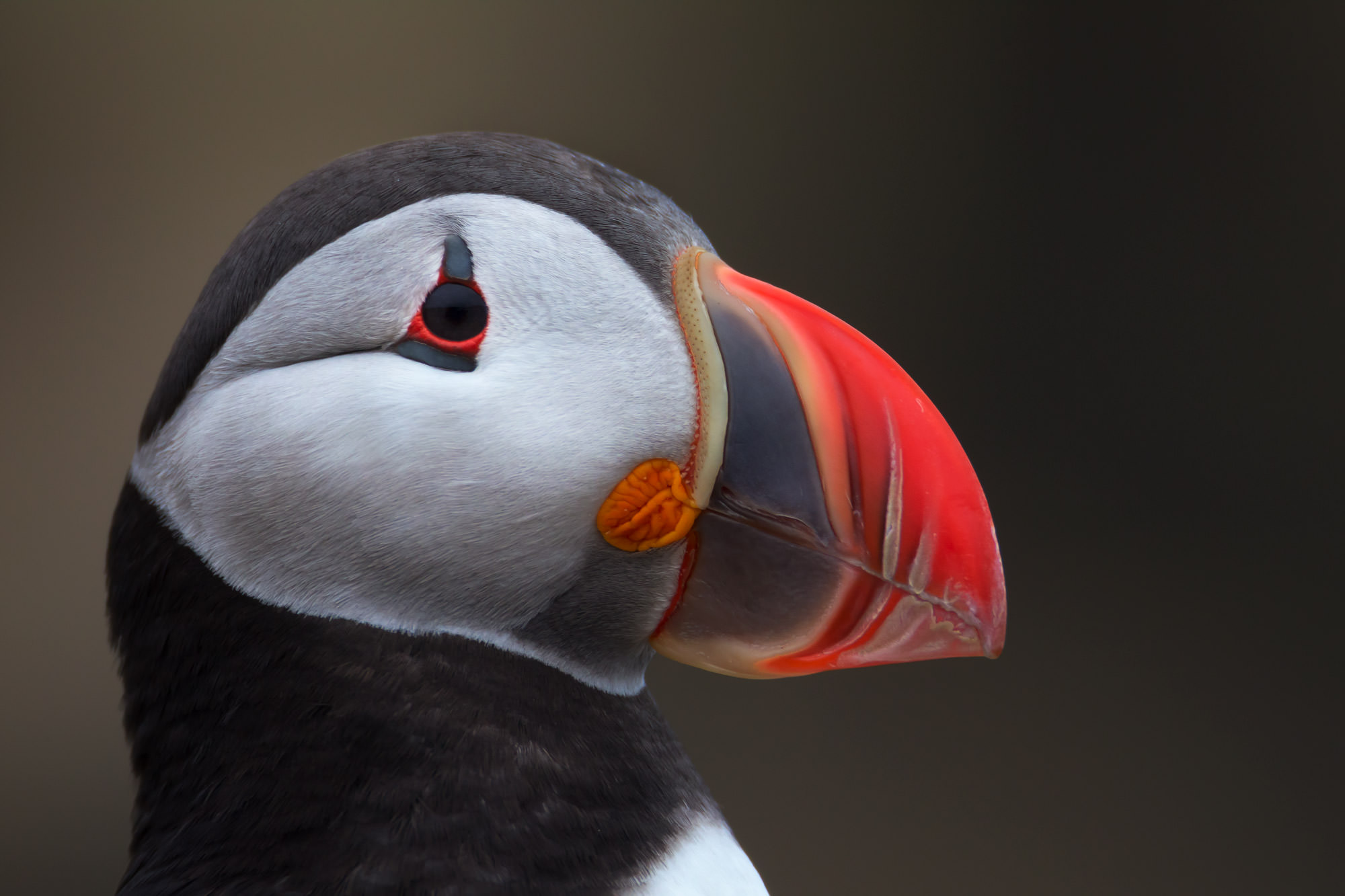 Puffin Fine Art Photography A Limited Edition photograph of a closeup of an Atlantic Puffin  looking like it has a stitched on...