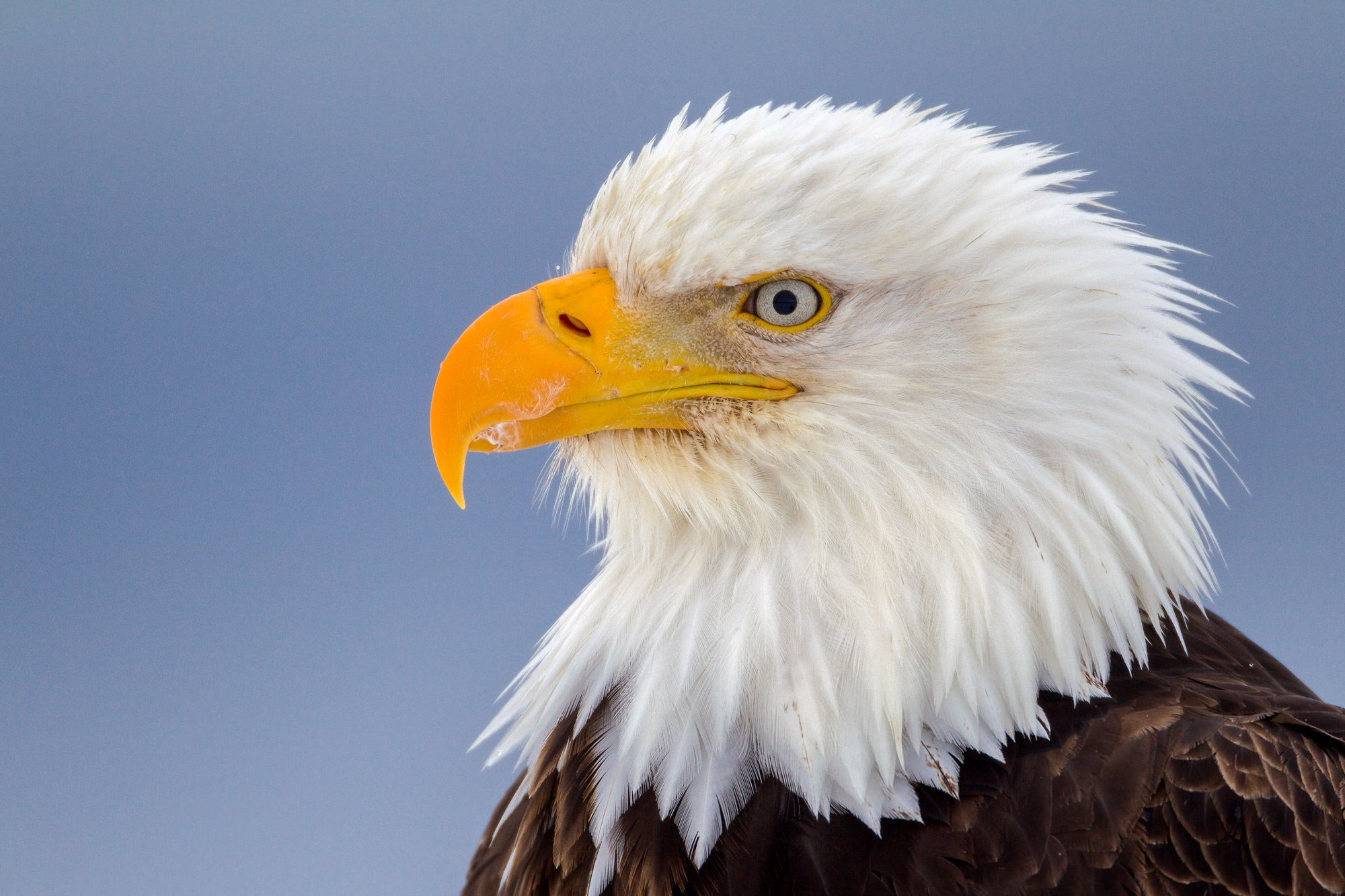 Eagle Fine Art Photography A Limited Edition photograph of a closeup of the head of an Eagle with a serious look at Homer, Alaska...