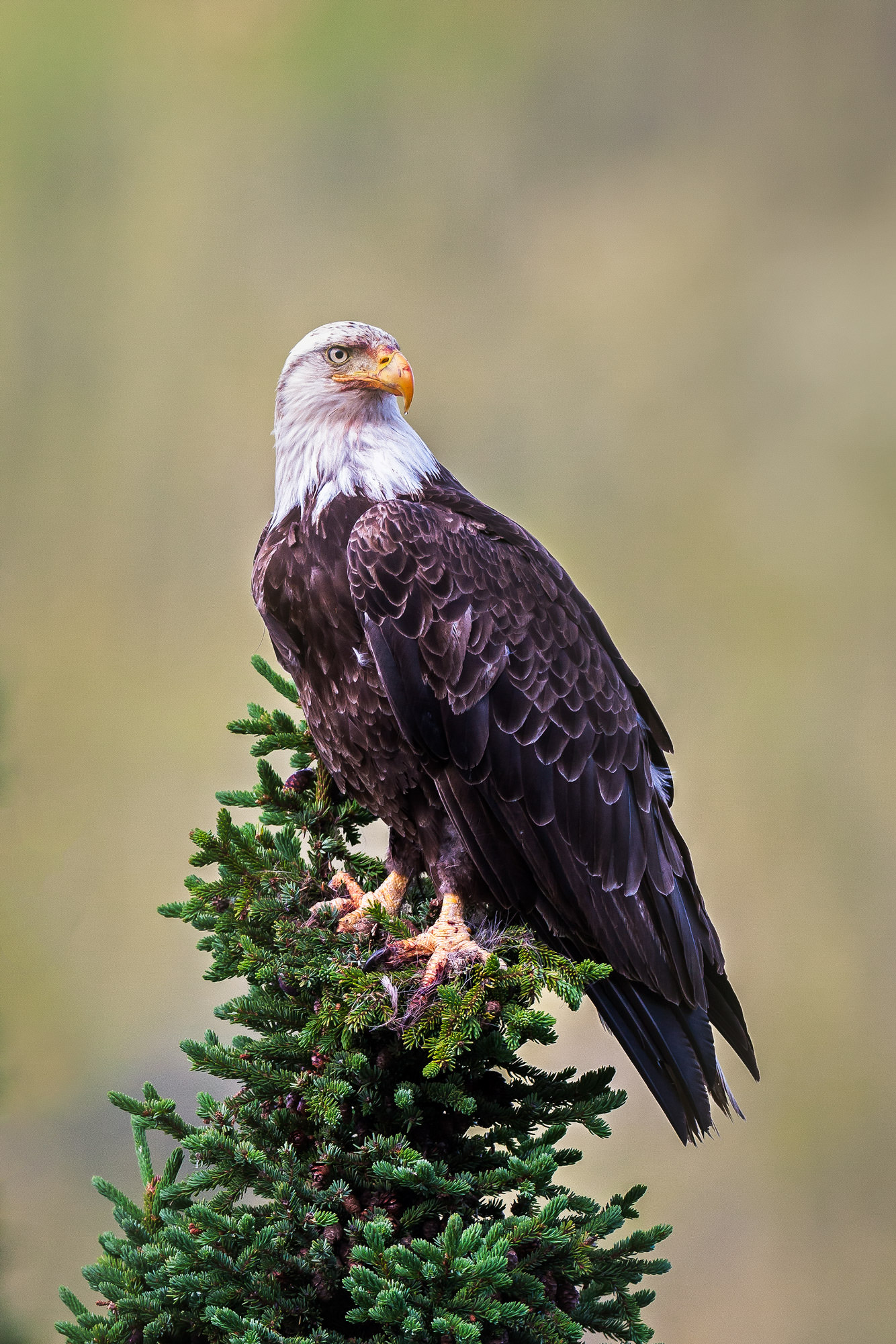 An Eagle S Perch British Columbia Canada Fine Art