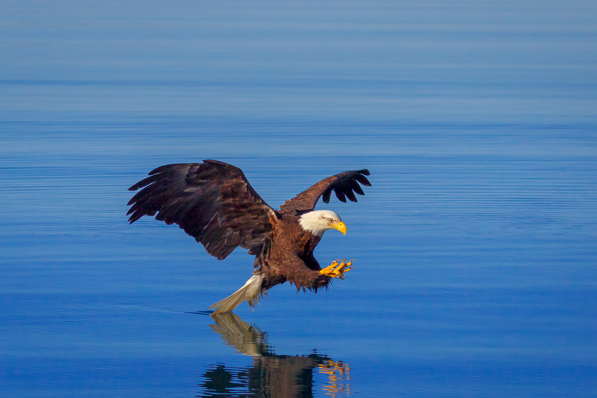 Eagle Fine Art Photography A Limited Edition photograph of a Bald Eagle swooping in dragging its tail on the calm water at Kachemak...