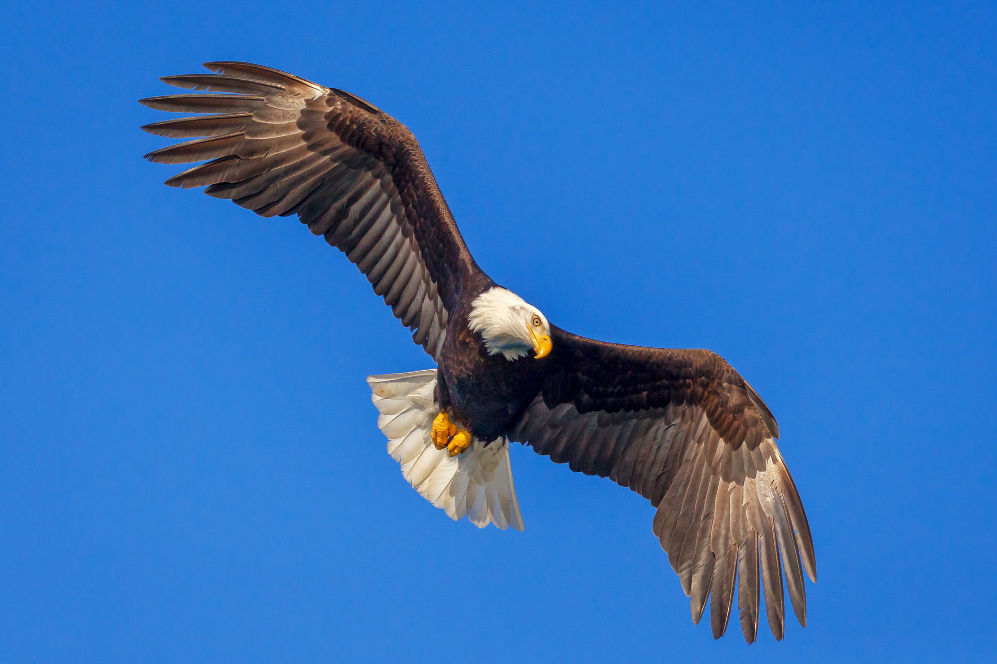 Eagle Fine Art Photography A Limited Edition photograph of a Bald Eagle in flight and getting ready to dive for a fish at Kachemak...