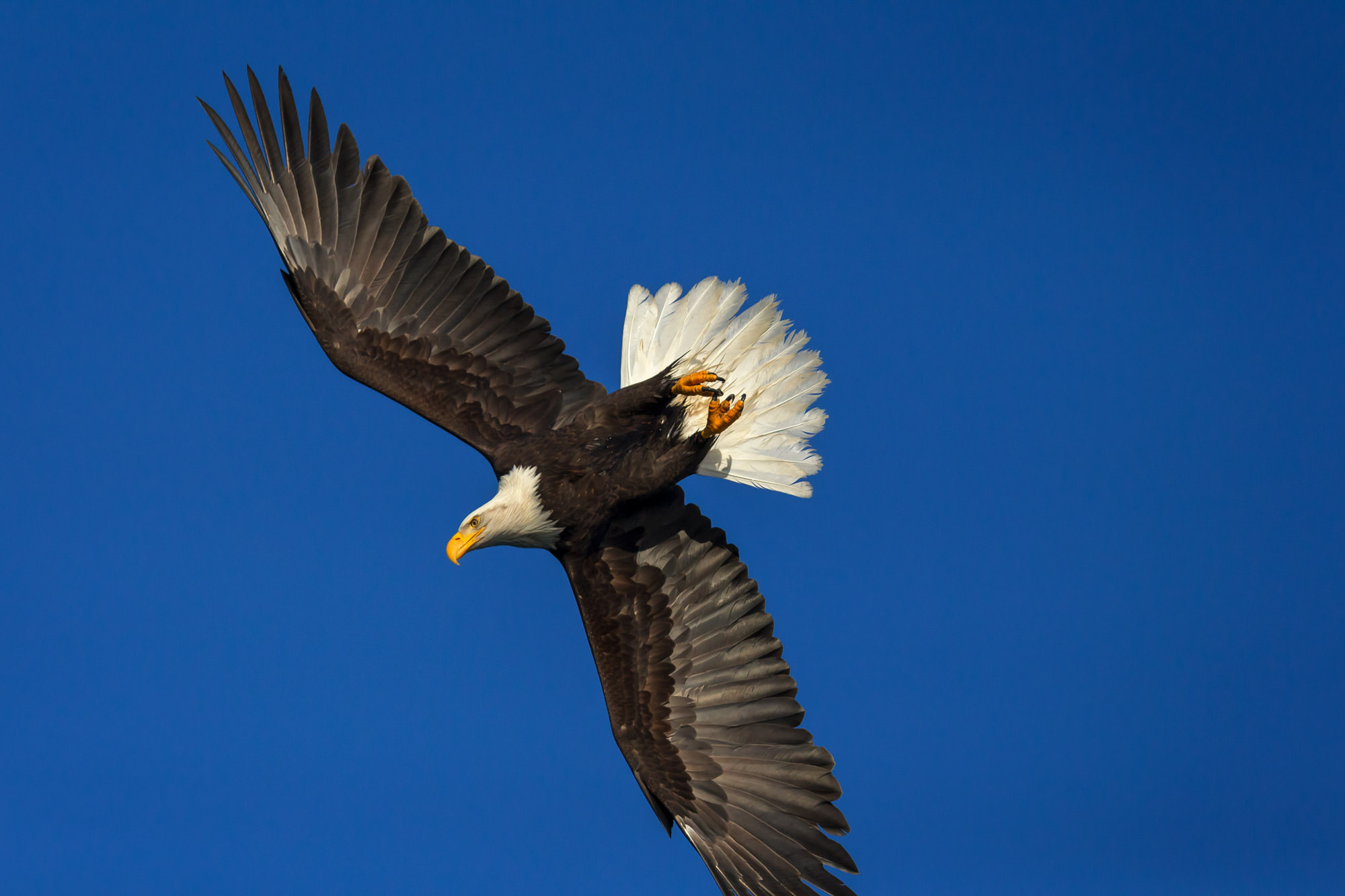 Eagle Fine Art Photography A Limited Edition photograph of a Bald Eagle in flight and making a full dive while fishing at Kachemak...