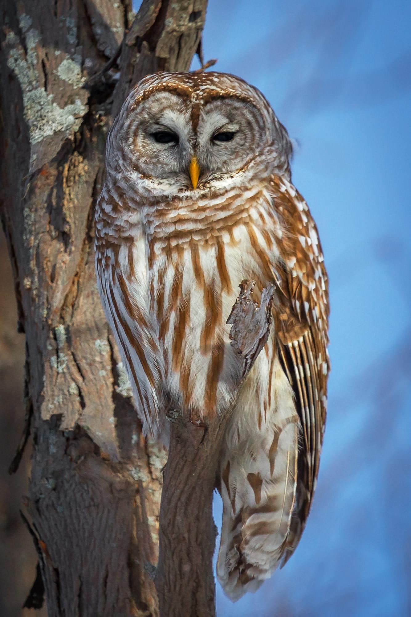Owl, Barred Owl, Canada, photo