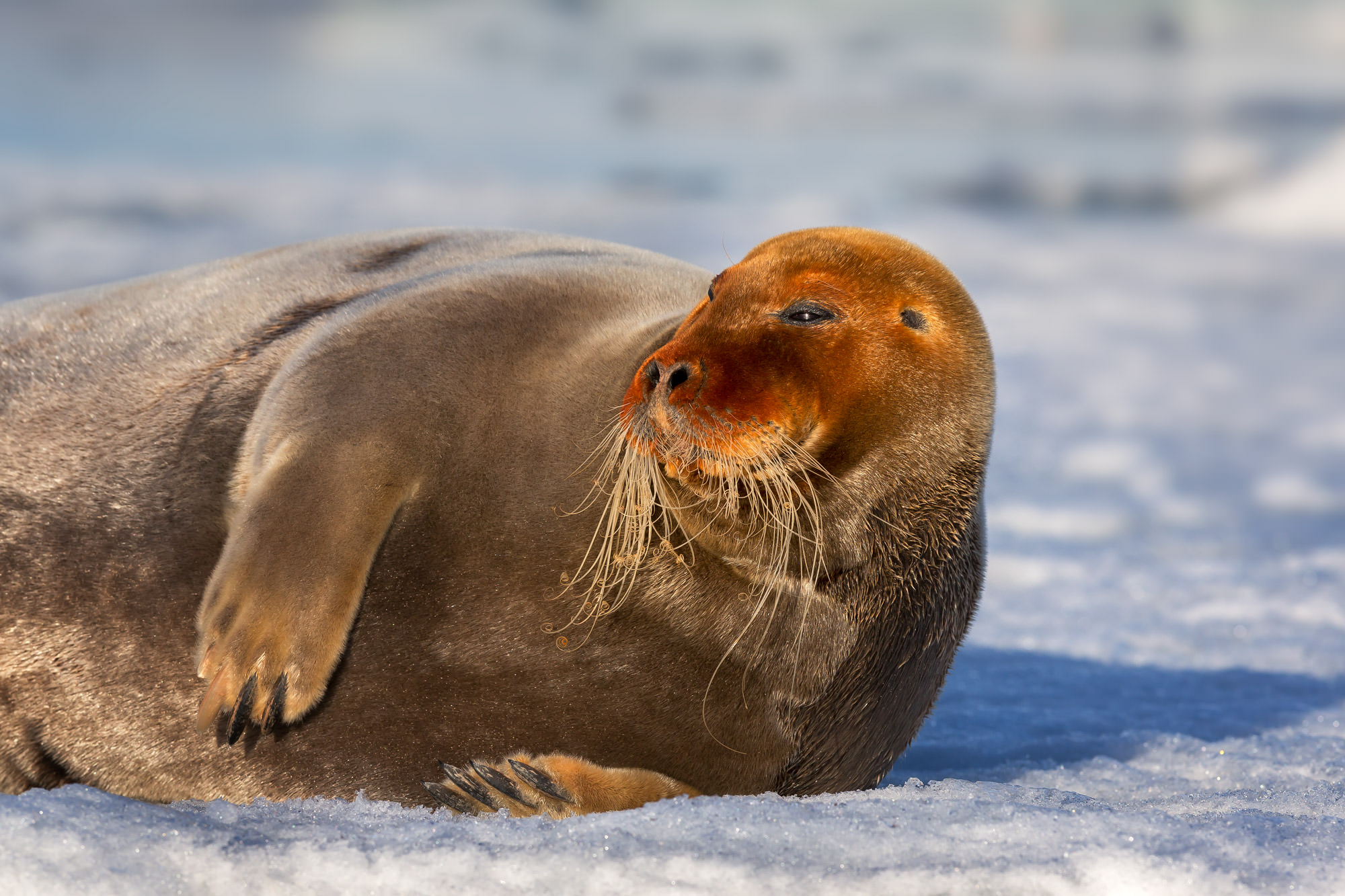 Seal, Bearded Seal, Norway, Spitsbergen, limited edition, photograph, fine art, wildlife, photo