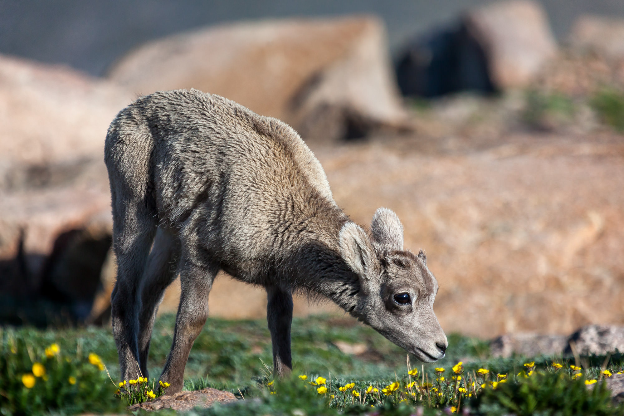 Bighorn, Sheep, Ram, Colorado, limited edition, photograph, fine art, wildlife, photo