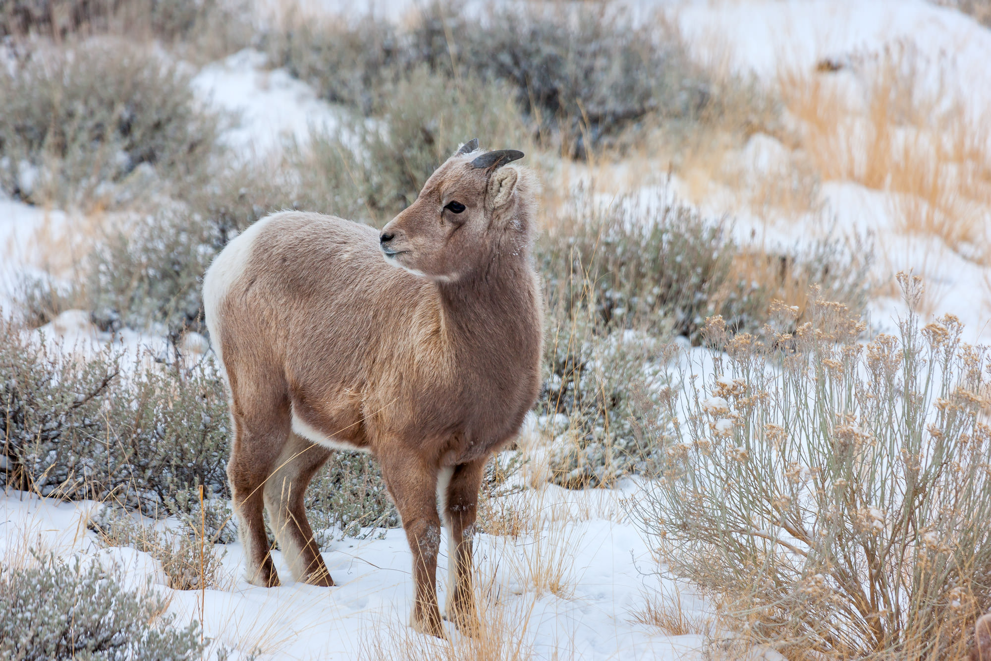 Bighorn, Sheep, Lamb, Colorado, photo