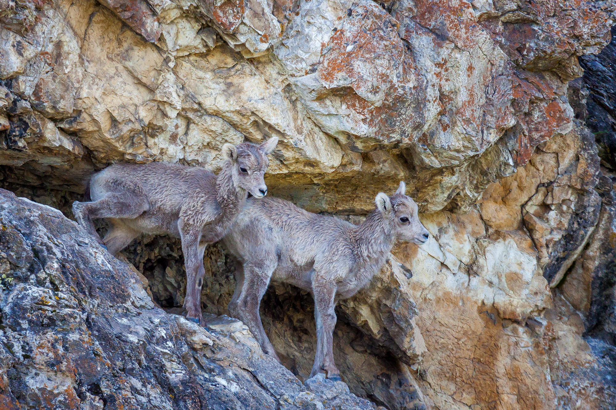 Bighorn, Sheep, Lamb, Canada, photo