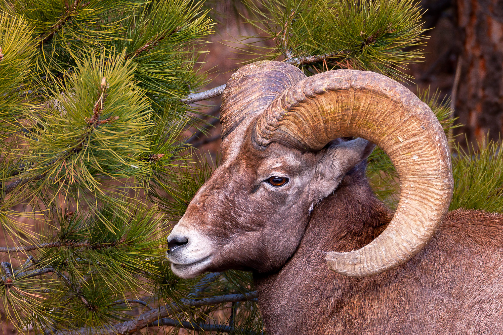 Bighorn, Sheep, Ram, Colorado, limited edition, photograph, fine art, wildlife, photo