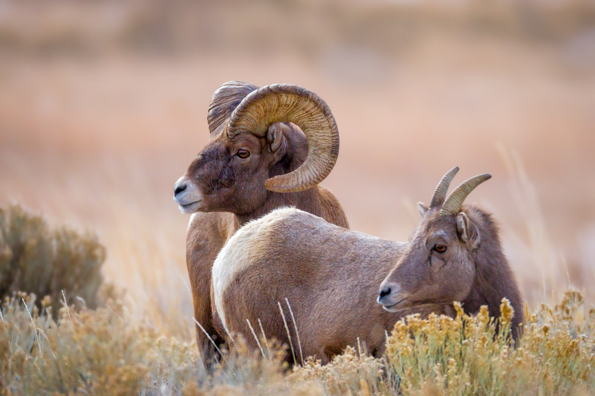 Bighorn, Sheep, Ram, Wyoming, limited edition, photograph, fine art, wildlife, photo