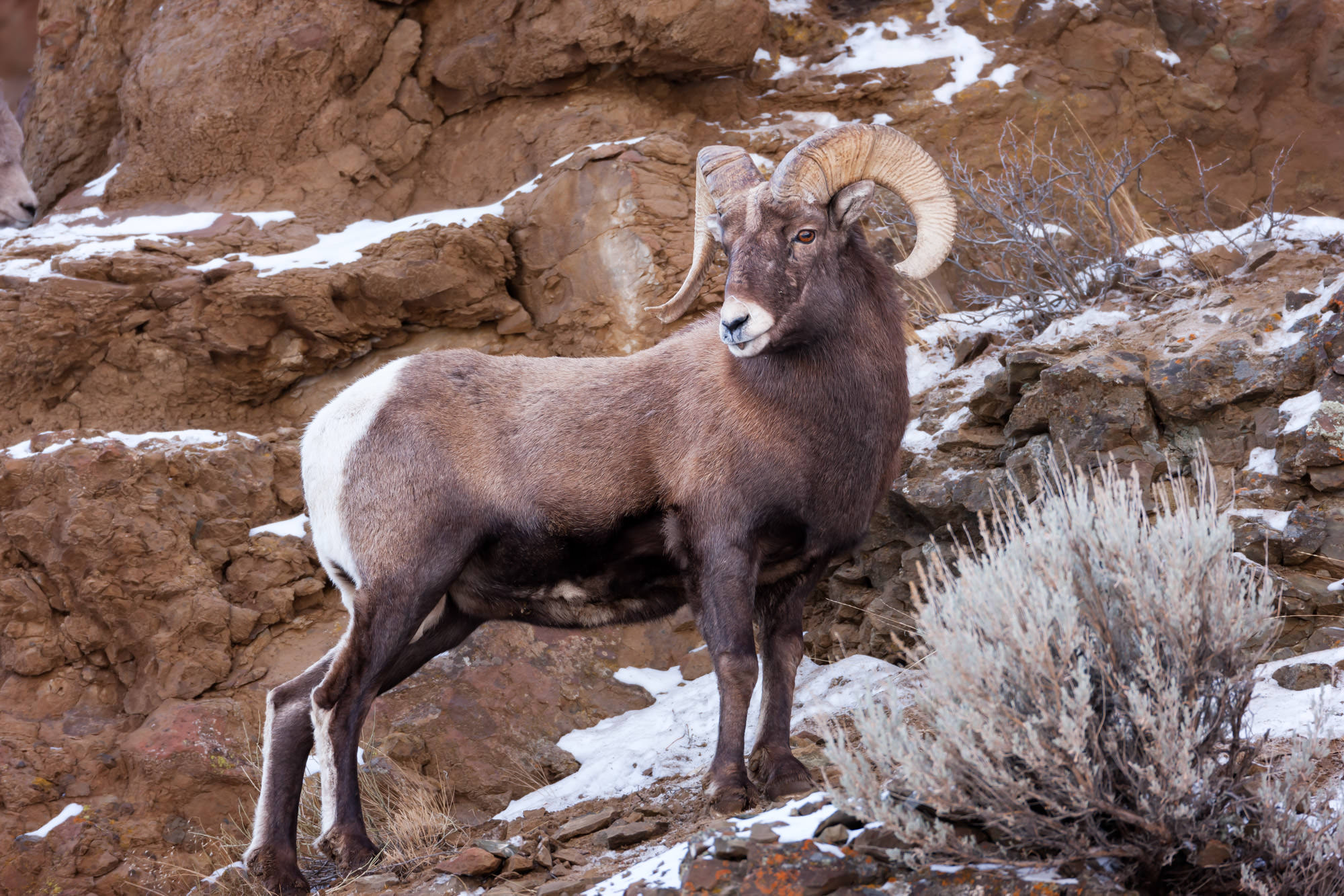 Bighorn Sheep Fine Art Photography A Limited Edition photograph of a large Bighorn Ram standing on the rocks. This Fine Art Wildlife...