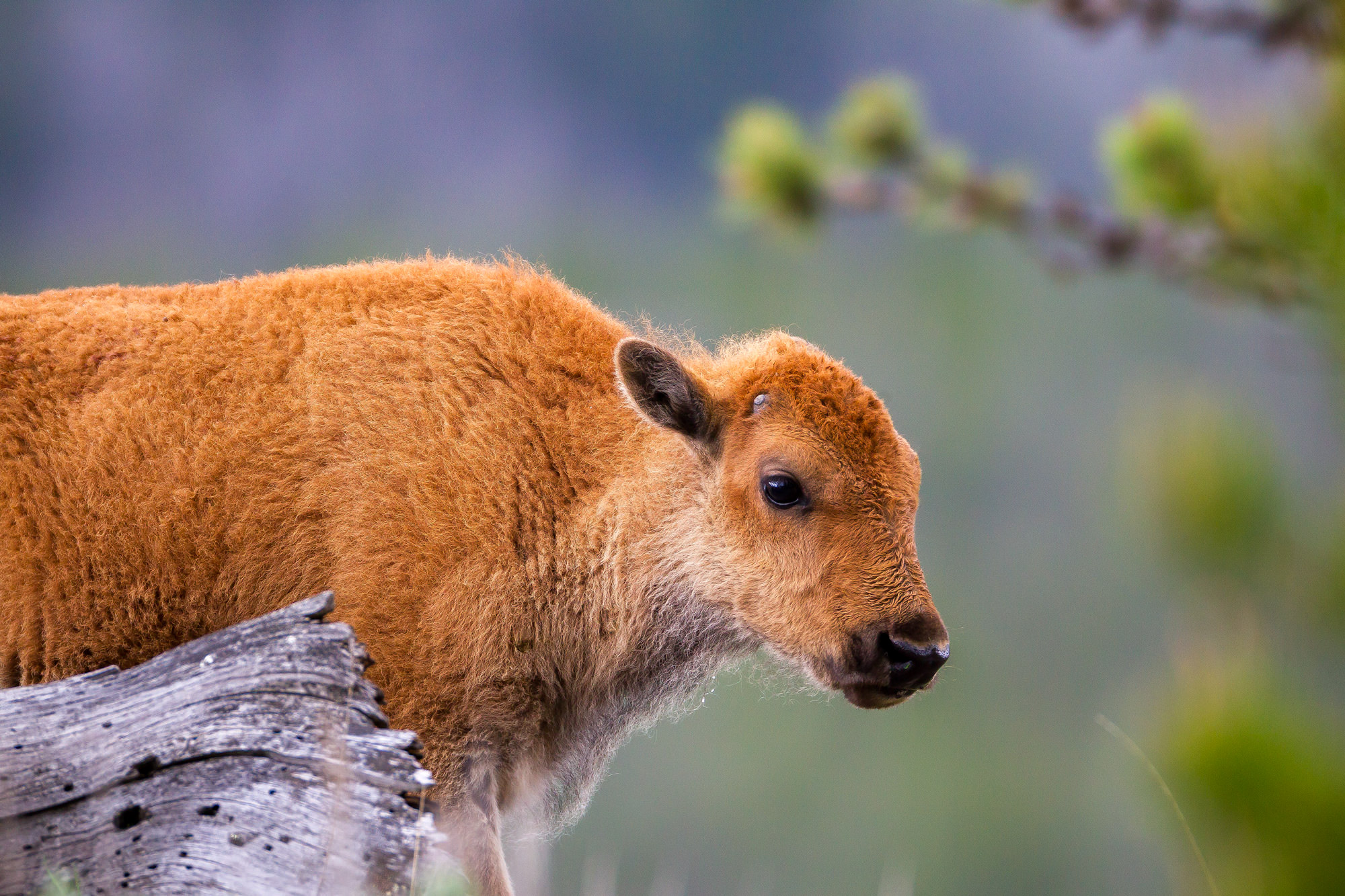 Bison Fine Art Photography A Limited Edition photograph of a closeup of a golden Spring Bision calf at Yellowstone National Park...