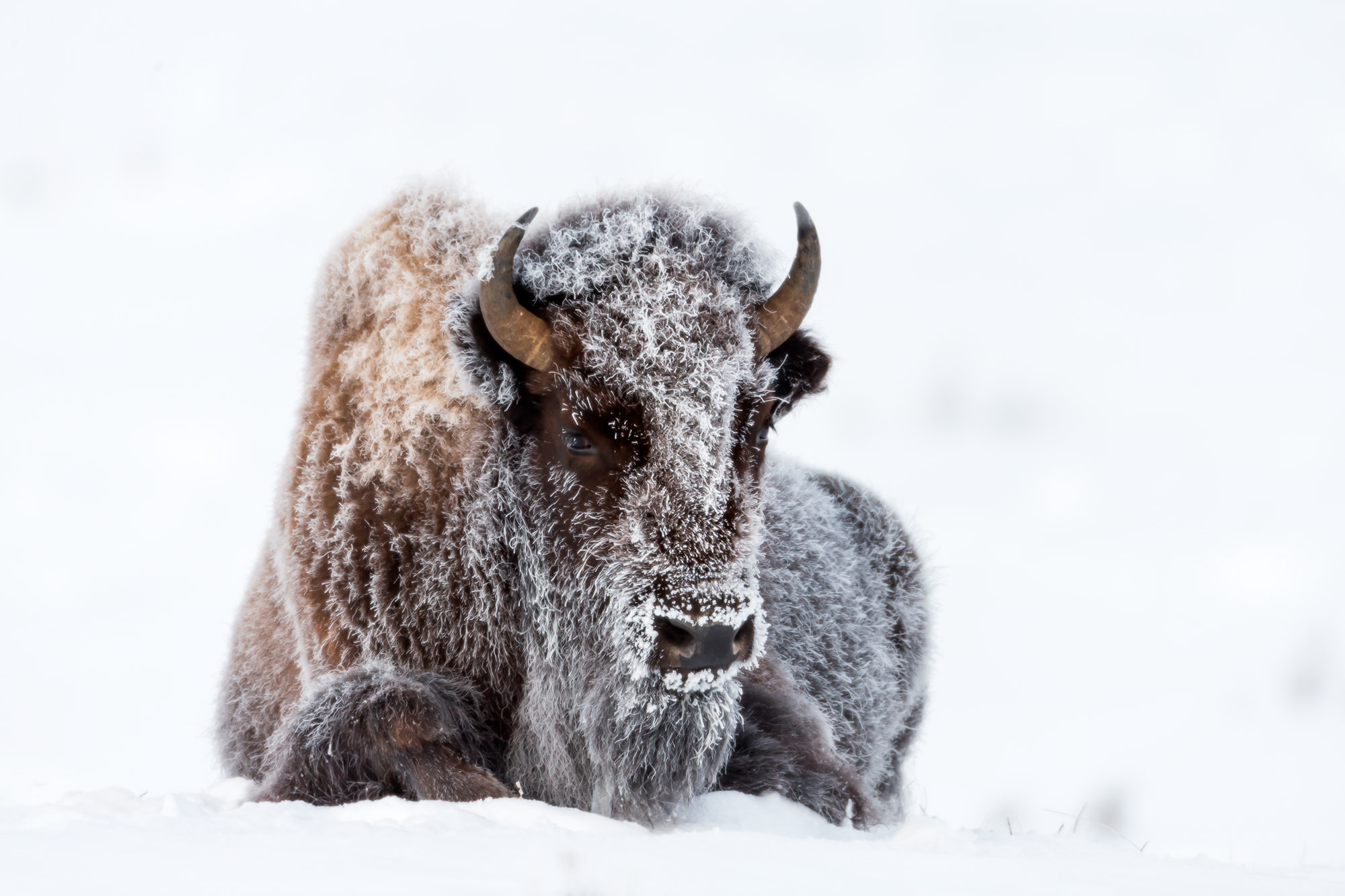 Wyoming, Bison, Winter, Yellowstone, Frosty, fine art, wildlife, limited edition, photo
