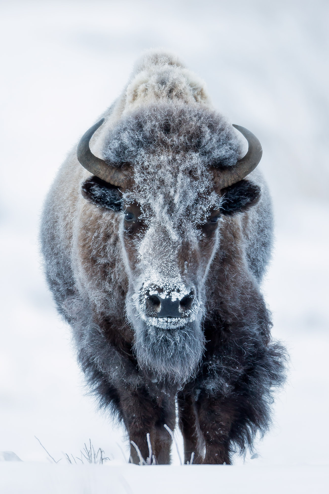 Wyoming, Bison, Winter, Yellowstone, frost, limited edition, photograph, fine art, wildlife, photo