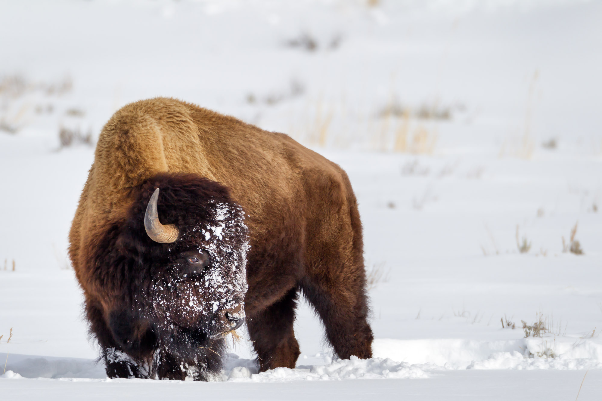 Bison Fine Art Photography A Limited Edition photograph of a Bison standing in the snow after a late day meal at Yellowstone...