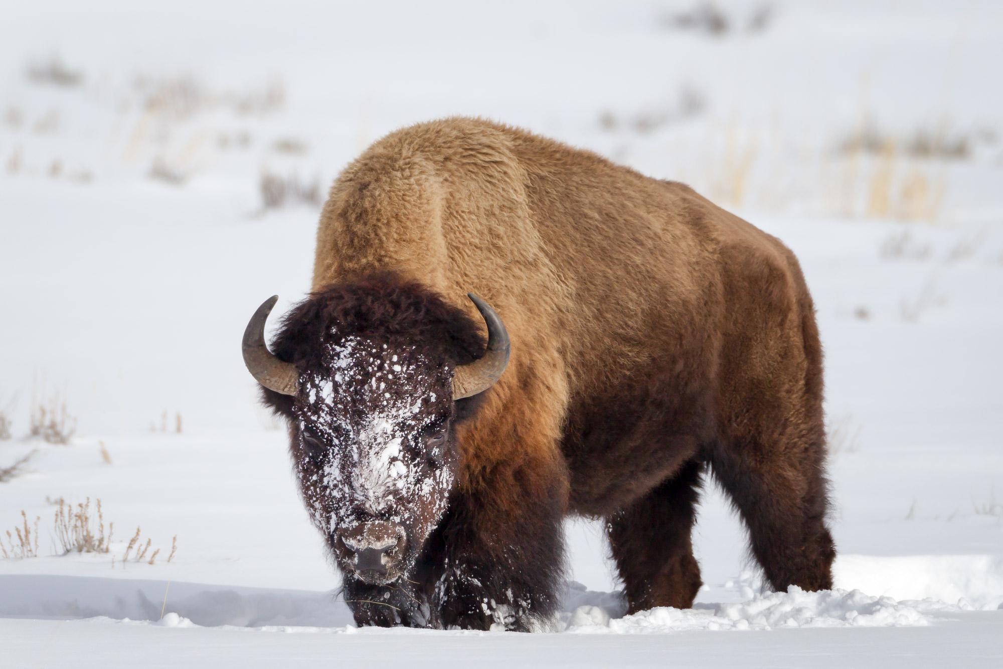 Wyoming, Bison, Winter, Yellowstone, snow, limited edition, photograph, fine art, wildlife, photo