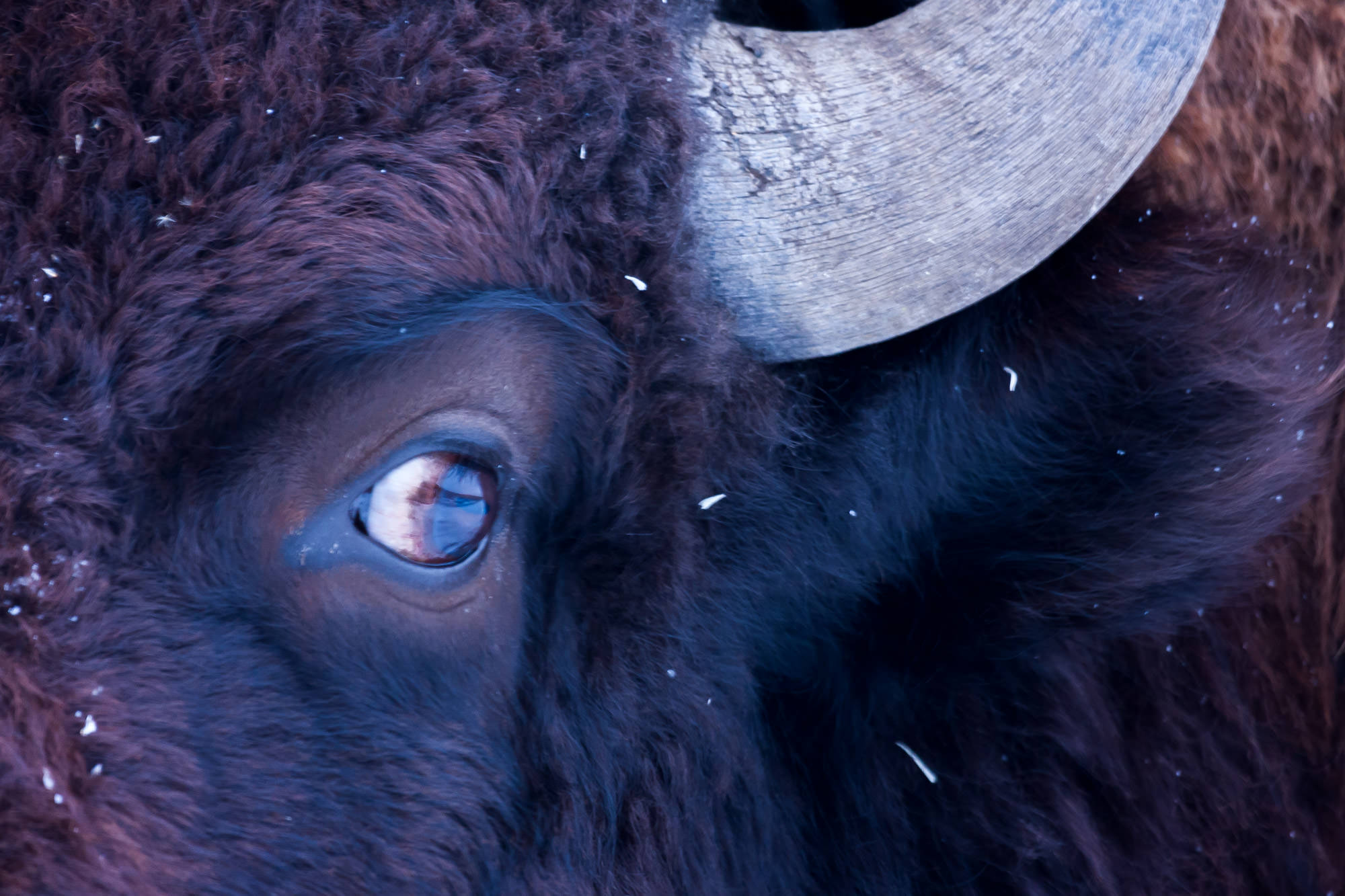 Bison Fine Art Photography A Limited Edition photograph of a closeup of the eye a on a Bison during the winter at Yellowstone...