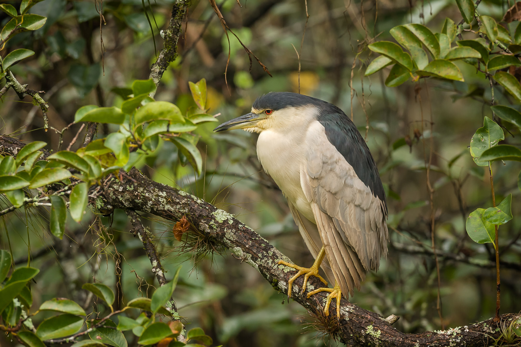 Heron Fine Art Bird Photography A Limited Edition photograph of a Black-Crowned Night Heron perched in the trees in Southwest...