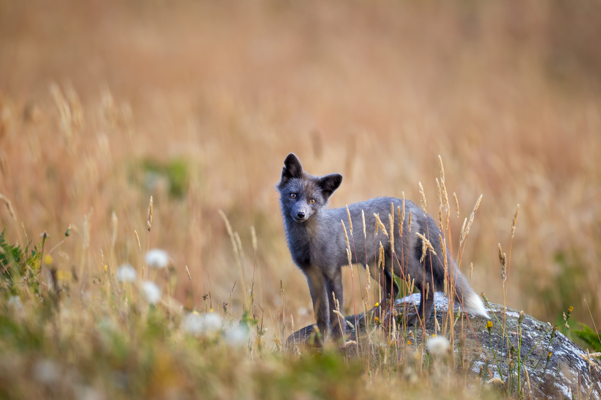 Black Fox Fine Art Photography A Limited Edition photograph of a Black Fox posing on a rock in the field at San Juan Island in...