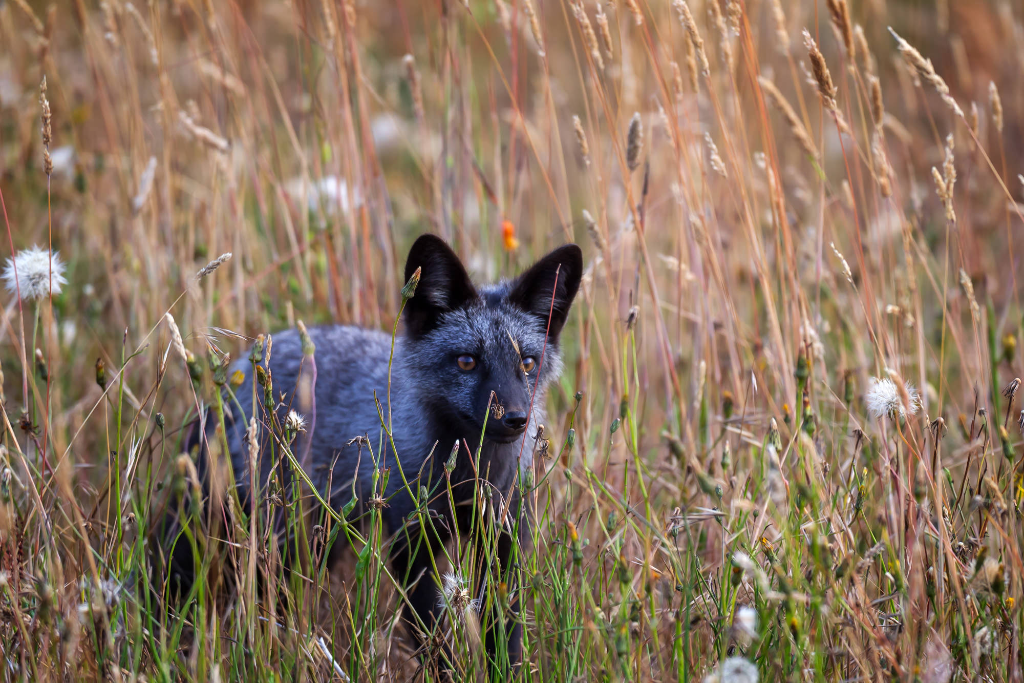 Black Fox Fine Art Photography A Limited Edition photograph of a black fox moving though the tall grass in a field at San Juan...