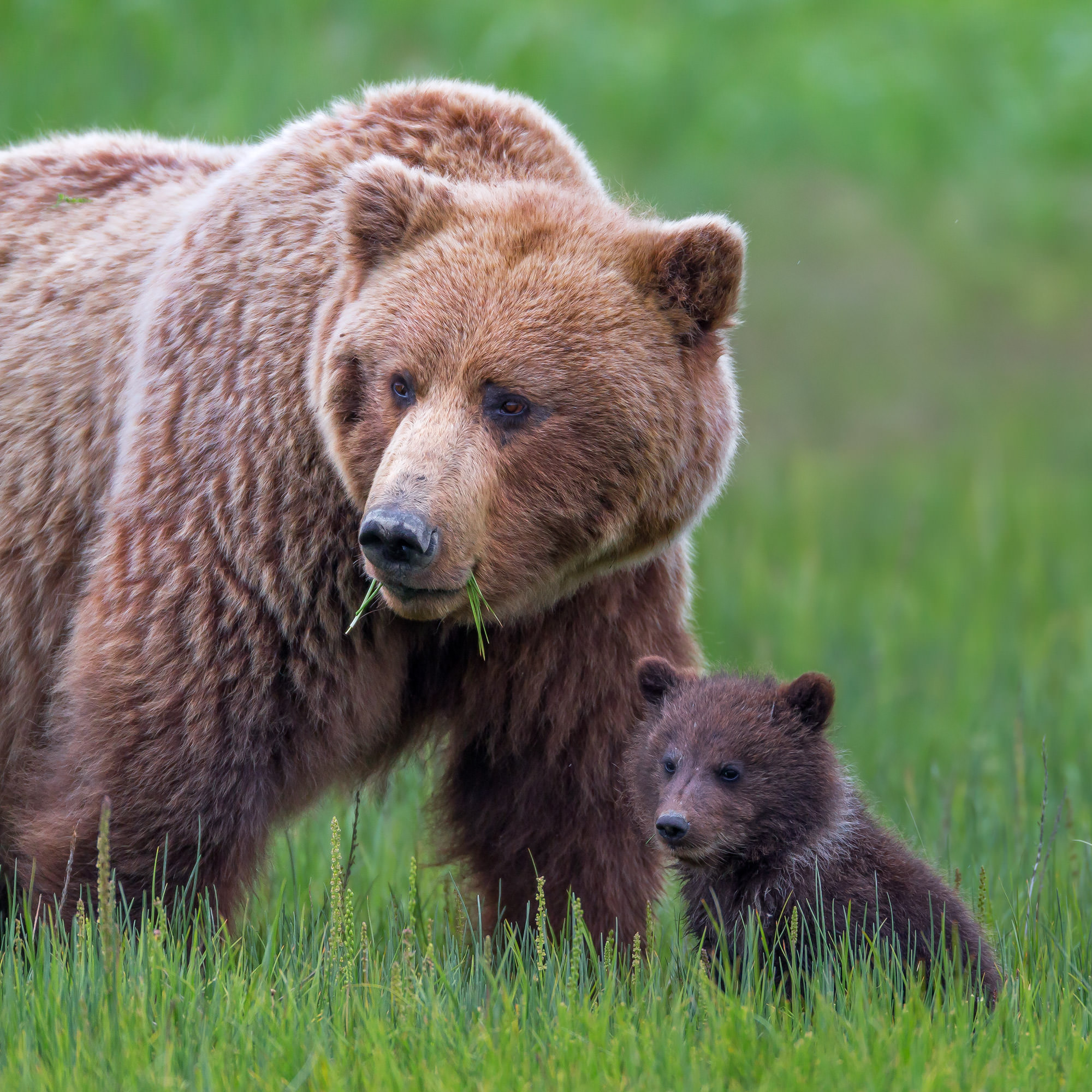 Grizzly Bear Fine Art Photography A Limited Edition photograph of a Grizzly Bear and her cub spending time together at Lake Clark...